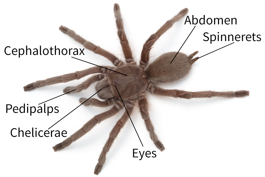 Spider anatomy - Spidentify