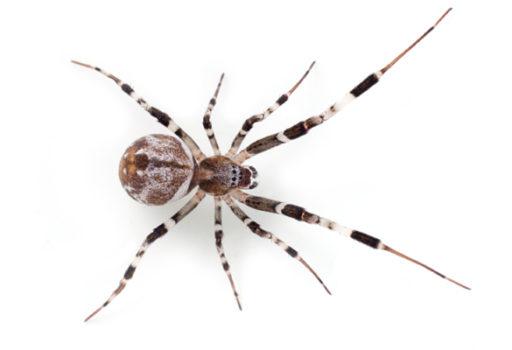 Are all spiders venomous?