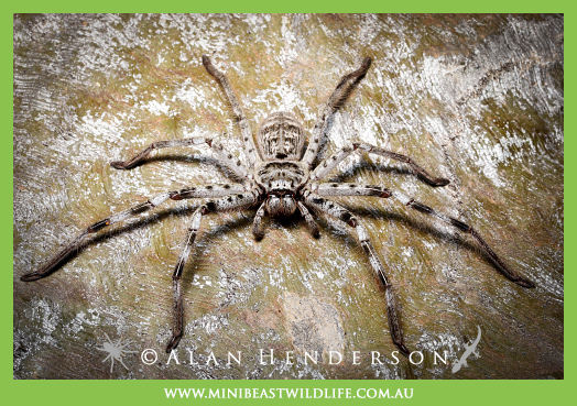 Murray Banded Huntsman (Holconia murrayensis)