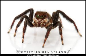 He has legs for days and he's coming to a Spidentify near you! Meet the Shaggy Jumping Spider (Hypoblemum griseum).