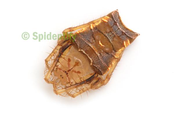 Forked Triangular Spider - Arkys furcatus