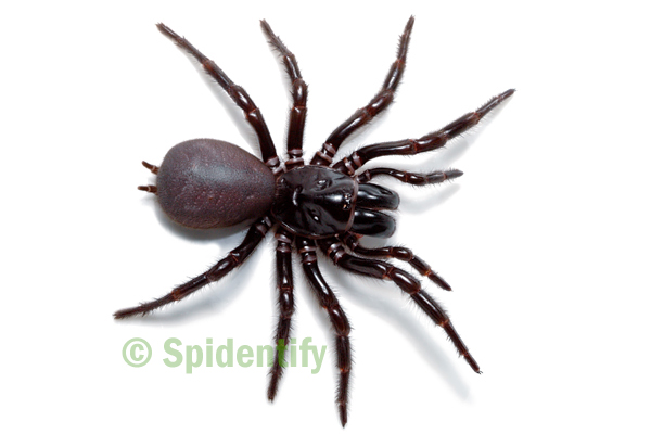 Female Sydney Funnel-web - Atrax robustus