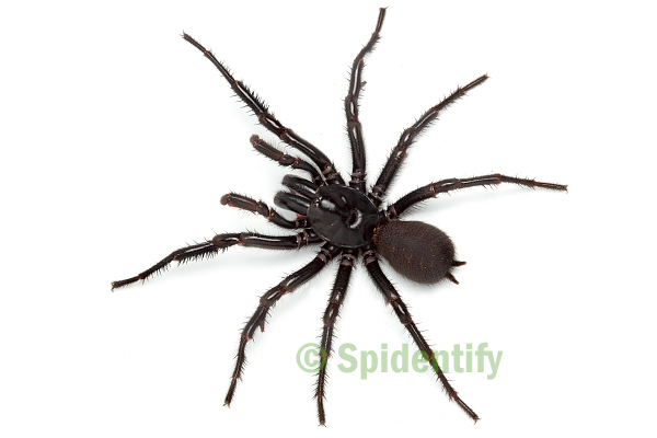Male Sydney Funnel-web - Atrax robustus