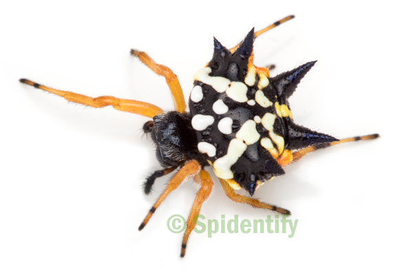 Jewel Spider -Austracantha minax