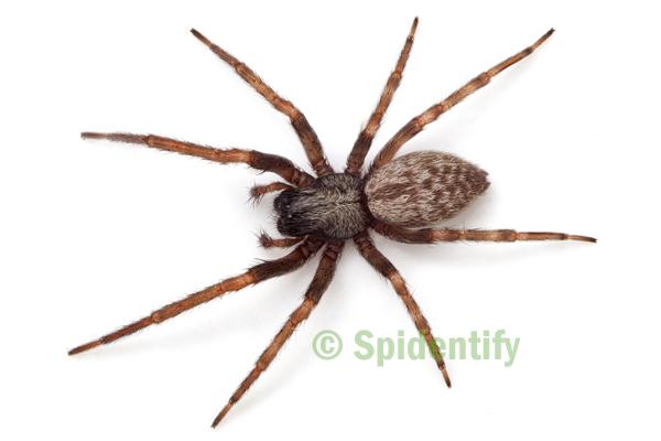 Brown House Spider - Badumna longinqua
