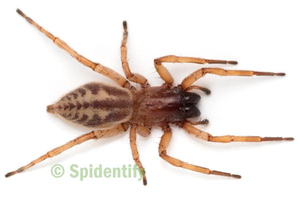 Sac Spider - Clubiona robusta