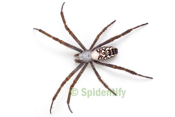 Tent Spider - Cyrtophora moluccensis