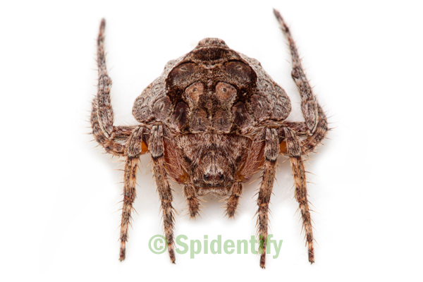 Wrap-a-round Spider - Dolophones species