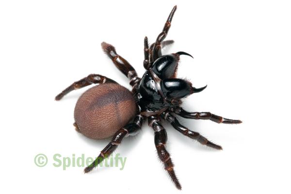 Eastern Mouse Spider - Missulena bradleyi