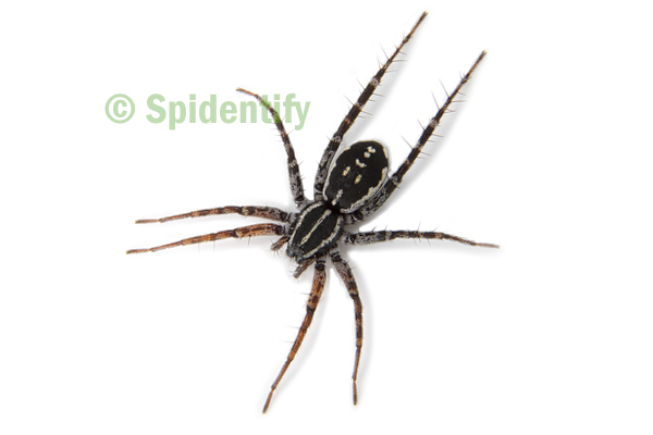 Orange-legged Swift Spider - Nyssus coloripes