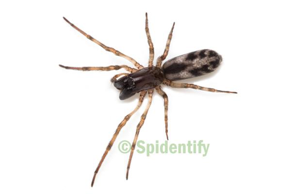 Twig Spider - Paramatachia tubicola
