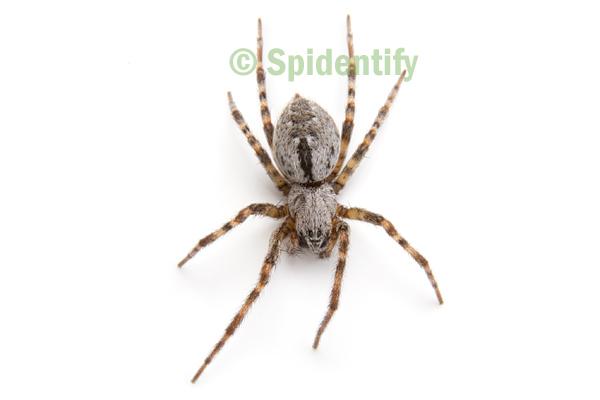 Foliage-webbing Social Spider - Phyrganoporus candidus