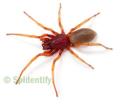 Slater-eating Spiders